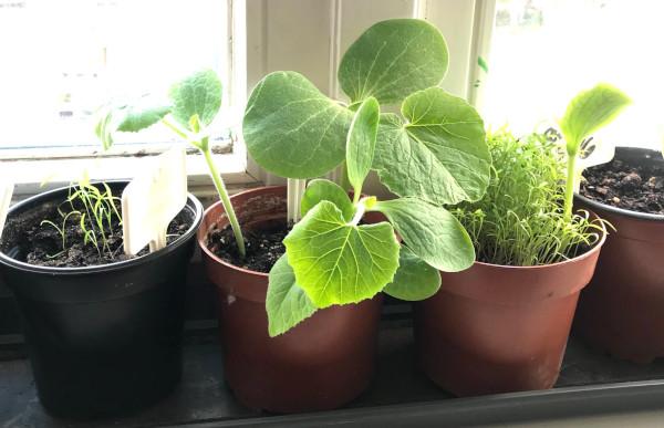 Vorzucht Gemüse-Pflanzen auf der Fensterbank